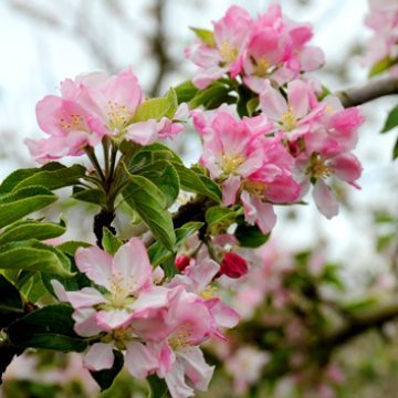 Photo of apple blossom. Purely decorative for the Apple Concentrate page