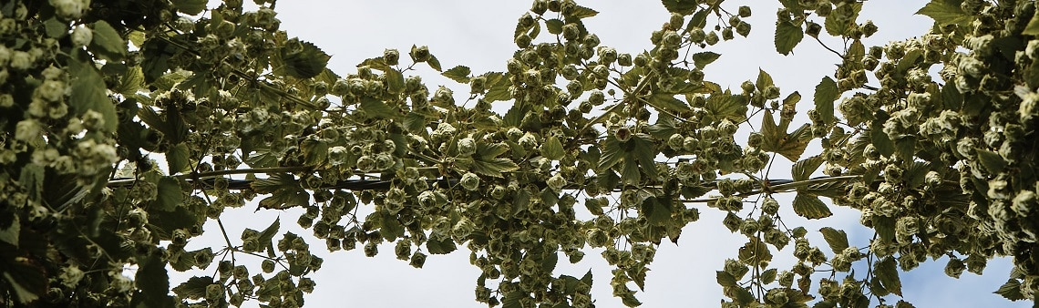 Photo of hop bines reaching across to meet. Purely decorative for the hop replacements or substitutions page